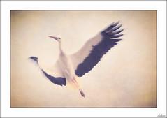 Hasta ahora (Explore 30/06/2018) (V- strom) Tags: cigüeña stork ave birds pájaro vuelo flying goingup texturas textura textures blanco white negro despedida farewell animal cielo sky homenaje dedicatoria recuerdo