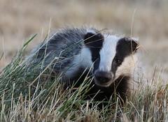 European Badger Meles meles 052-1 (cwoodend..........Thanks) Tags: badger europeanbadger eurasianbadger melesmeles mustelidae wildlife 2018 warwickshire