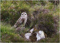 Short-eared Owl (Antony Ward) Tags: shortearedowl owls wildbirds outerhebrides northuist