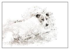Pumba (Daniela 59) Tags: sliderssunday hss 7dwf 7dayswithflickr sundaythemefauna dog pet animal pumba jackrusselterrier portrait blackandwhite danielaruppel