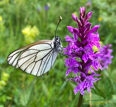 Black-veined White on Orchid (AHPFineArt) Tags: wildlife orchid nature insect blackveinedwhite butterfly