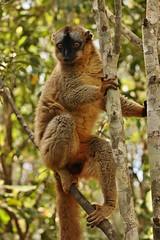 IMG_8266 Common Brown Lemur (Eulemur fulvus) (Kalina1966) Tags: madagascar animals lemur naturethroughthelens coth5