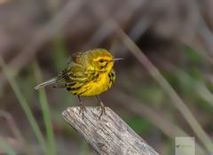 Prairie Warbler (AnthonyVanSchoor) Tags: anthonyvanschoor maryland usa prairie warbler
