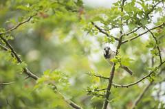 House Sparrow (Benjamin Joseph Andrew) Tags: bird passerine songbird farm farmland farming agriculture building garden home urban sitting perching summer
