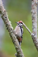 Fern-Cottage-Jun18-016 (Peter-D-Smith) Tags: canoneos5dmkiii dendrocoposmajor ferncottage ferncottageholiday greatspottedwoodpecker highlands june2018 scotland wildlife