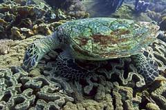 Бисса на комежке. Hawksbill turtle (atardecer2018) Tags: бали дайвинг 2017 underwater scubadiving bali diving