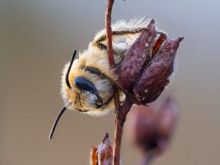 Pantaloon Bee (Dasypoda hirtipes ♂)