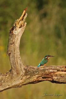 Alcedo atthis Martin-pêcheur d'Europe Common Kingfisher Martín Pescador Eisvogel