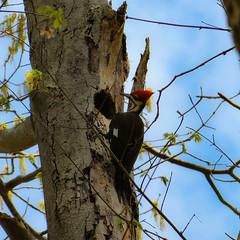 PSX_20180416_235937 (jmstafford7102) Tags: pileatedwoodpecker woodpecker trees lookup birdphotography birdlovers nature naturelovers naturetrails outdoor
