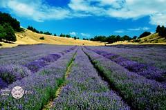 Lavender field. (Susyfox) Tags: summer field lavender nature landscape susyfox coth5