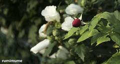 Summer Flowers (rumimume) Tags: potd rumimume 2017 niagara ontario canada photo canon 80d sigma plant flower summer sun petal bloom colour day outdoor 2018