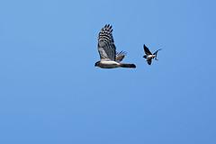 Hirondelle rustique attaquant un Épervier A7302847_DxO (jackez2010) Tags: ilce7m3 sel14tc fe100400mmf4556gmoss hirondellerustique bif birdinflight épervierdeurope