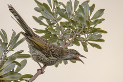 the nectar hunters - a little wattlebird #2 (Fat Burns ☮) Tags: littlewattlebird anthochaerachrysoptera honeyeater wattlebird bird australianbird fauna australianfauna nikond500 sigma150600mmf563dgoshsmsports kakadunaturereserve bribieisland nature outdoors