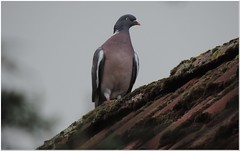 Resisting the wind (MaxUndFriedel) Tags: sky heaven wind storm roof house pigeon bird columba dove