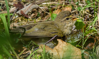 Willow Warbler dust bathing (3 of 5)