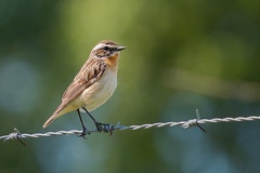 Bird on a Wire..... (klythawk) Tags: whinchat saxicolarubetra nature wildlife summer sunshine barbedwire bokeh green blue orange grey brown beige black white olympus omd em1mkll 100400mm panasonic leica ramsleyreservoir hopevalley peakdistrict derbyshire klythawk