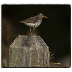 Spotted Sandpiper on a post. #photography #photooftheday #photoadaychallenge #canon7d #sigma150600 #nature #bird #opcmag #sandpiper #project365 #yyc #calgary