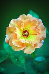 自然の美しさ (alice 240) Tags: 自然の美しさ macro nature flower rose yellow garden fiore ngc nationalgeographic flickr nikon poetry magic dream