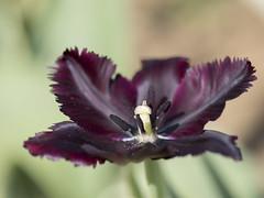 Extase * (Titole) Tags: tulipe tulip black open stamen titole nicolefaton purple