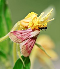 Rosy Maple moth and ant. (Gillian Floyd Photography) Tags: macro rosy maple moth ant