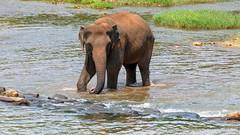 #SriLanka as seen by #ArturoNahum - UHD 4K (Arturo Nahum) Tags: arturonahum srilankanelephantelephasmaximusmaximus srilanka pinnawala animal mammal mamifero elefantes elefantesasiaticos river 4k uhd 600
