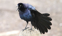 Self Appointed Town Crier (Kaptured by Kala) Tags: malegreattailgrackle quiscalusmexicanus greattailgrackle grackle whiterocklake dallastexas sunsetbay pier malegrackle loud noisy post woodenpost displaying displaybehaviors calling closeup puffedup