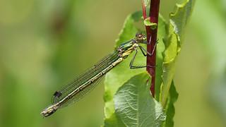 Scarce Emerald Damselfly (f) - Lestes dryas