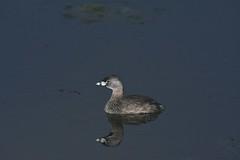 2017 Pied-billed Grebe 6 (Explored) (DrLensCap) Tags: auto tour horicon marsh national wildlife refuge waupun wisconsin piedbilled grebe wi bird duck fowl robert kramer