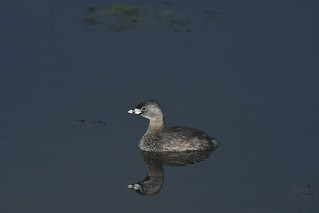 2017 Pied-billed Grebe 6 (Explored)