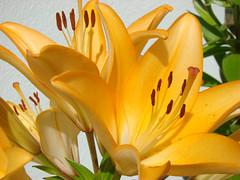 LYS royal jaune-orange-St GIRONS-Landes. (01937100-Thanks for your 4,5 MILLIONS visits.) Tags: france jaune lys
