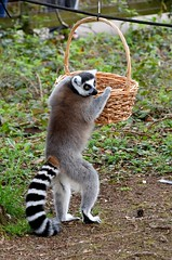 Whats in the Basket? - Ring-tailed Lemur at Monkey World, Dorset. (One more shot Rog) Tags: lemur lemurs primate primates monkeys monkey nature stripes ringtailedlemur ringtailedlemurs madagascar monkeyworld endemic wildlife wild wilds animal eyes onemoreshotrog rogersargentwildlifephotography nikon nikon500