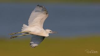 Little Blue Heron - Egretta caerulea | 2018 - 2
