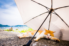 thrivers on islands #132 (Oki-Shima Island, Shiga) (Marser) Tags: xt10 fujifilm raw lightroom japan shiga biwako island cat parasol sleeping 滋賀 琵琶湖 沖島 猫 貓 日傘