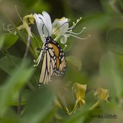 Beauty Surround (Carolyn Lehrke) Tags: nature outdoors wild woods butterfly butterflies summer wv greenbrier wildflowers
