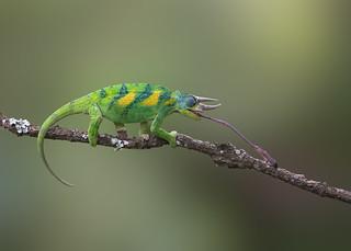 Jackson's chameleon, Jackson's horned chameleon, or Kikuyu three-horned chameleon (Trioceros jacksonii )