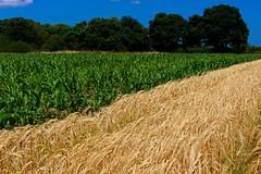 East Beckham (A Picture Of Norfolk) Tags: east beckham gresham aylmerton northnorfolk countryside landscape summer field farm crops wheat maize trees rural nature