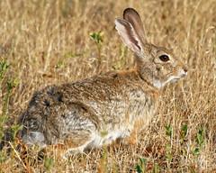 Cotton-tail Rabbit (dcstep) Tags: dsc6946dxo rabbit cottontailrabbit fe100400mmf4556gmoss fe20xteleconverter sonya9 cherrycreekstatepark colorado usa aurora allrightsreserved copyright2018davidcstephens dxophotolab nature urban urbannature instagram