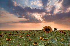 La Provence in the Polder! (karindebruin) Tags: goereeoverflakkee nederland ouddorp thenetherlands zuidholland sunflowers zonnebloemen