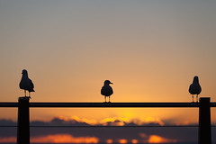 Three gulls (Mikey Down Under) Tags: 3 australia australian bird coast coffs dawn daybreak fence gull headland lookout northcoast northern nsw ocean orange pacific post rail seagulls silhouette silhouetted silver sunrise three wild woolgoolga