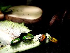 Smaragd Rosenkäfer (ingrid eulenfan) Tags: berlin zoo insekt smaragdrosenkäfer animal tier käfer sonye18105mm