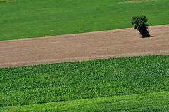 Multicolor (luporosso) Tags: natura nature naturaleza naturalmente nikon nikonitalia nikond500 erba distesaerbosa colors colori country countryside scorcio scorci campagna campi albero tree grass grassyexpanse