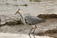 IMG_0779 (monika.carrie) Tags: monikacarrie wildlife scotland bullersofbuchan greyheron