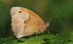 Meadow Brown (Maniola jurtina) 160718 (Richard Collier - Wildlife and Travel Photography) Tags: wildlife naturalhistory nature macro closeup insects british britishinsect butterflies meadowbrown maniolajurtina