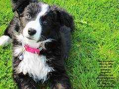 Life's Only Just Begun (ASHA THE BORDER COLLiE) Tags: puppy border collie adorable cute inspirational quote ashathestarofcountydown connie kells county down photography