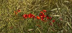Poppies (W. Pfennig) Tags: korn klatschmohn feld