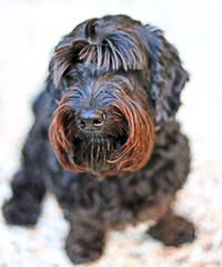 Simply red(er) (Robyn Hooz) Tags: penelope cute dog pet bafforosso moustache zampe fur pelo quattrozampe bau bark arf padova