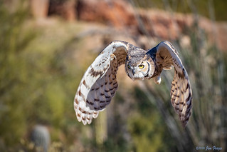 Great Horned Owl (Bubo virginianus) at the Raptor Free Flight Show in the Arizona-Sonora Desert Museum