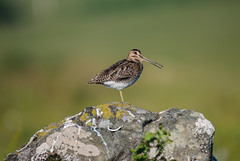 Common Snipe 28-06-2018-0832 (seandarcy2) Tags: wader birds wildlife mull snipe common
