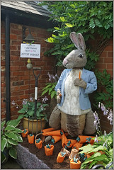 Peter Rabbit (Jason 87030) Tags: rabbit animal veg vegetable garden crick northants festival show event northamptonshire village carrots bunny