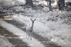 Deer Challenge in IR (Brian M Hale) Tags: 720nm infrared infra red ir 720 nanometer trees foliage kolari vision kolarivision outside outdoors woods forest wildlife wild life wilderness sterling ma mass massachusetts newengland new england usa summer brian hale brianhalephoto doe deer road dcr lines tracks challenge